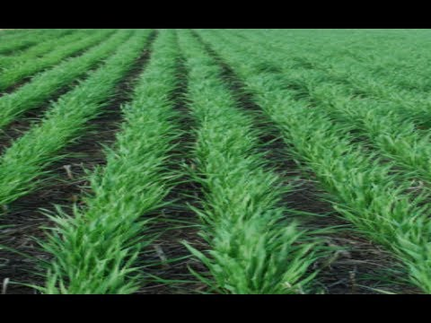 Wheat cultivation method