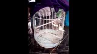 Gambar cover Burung Cucak Kombo Gacor