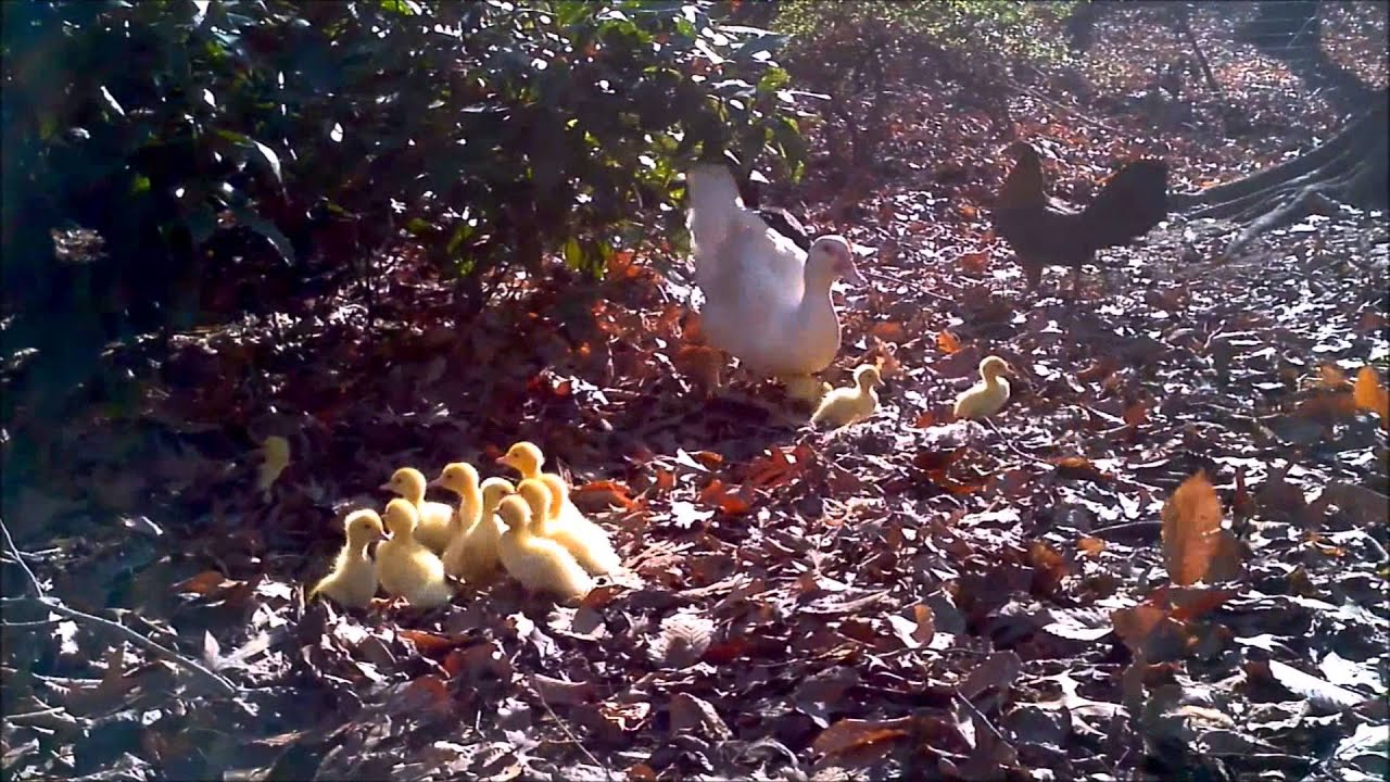 About Muscovy Ducks - Moose Manor Farms