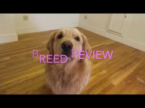 Golden Retriever Review
