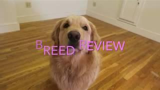 Golden Retriever Review