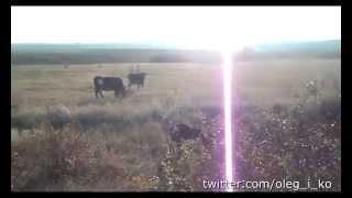 Война. Животные. Выпуск 9. Самостоятельные коровы-кочевники. Бои в Никишино