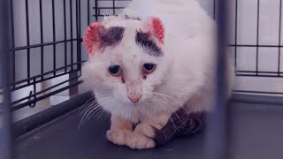 A Cat Who Was Abused And Shot Gets A Chance For A Better Life