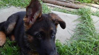 видео Когда у щенков встают уши?