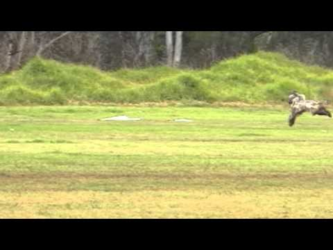 Afghan Hound Lure Coursing