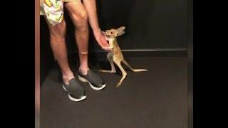 Кенгуру домашнее Очень маленькое животное люди держат дома Уход за питомцем Интересные факты Обзор