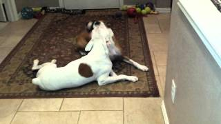 Legacy Boxer Rescue Foster Benton And Jennifer Playing Loudly And Mouth Jousting :-)