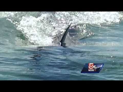 Great white shark spotted off Cape Cod