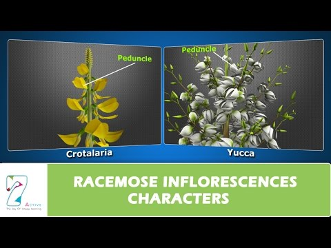 RACEMOSE INFLORESCENCES CHARACTERS
