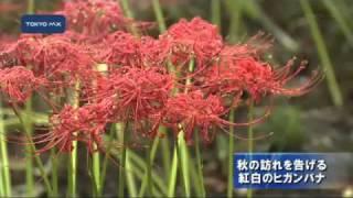 練馬区の牧野記念庭園で秋の訪れを告げる紅白のヒガンバナが咲きました...