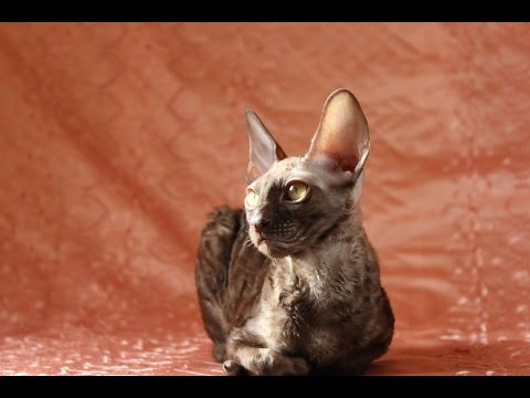 Faramir Cornish Rex male