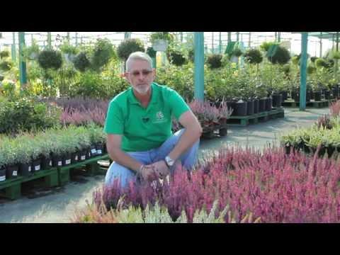 Как выращивать вереск.