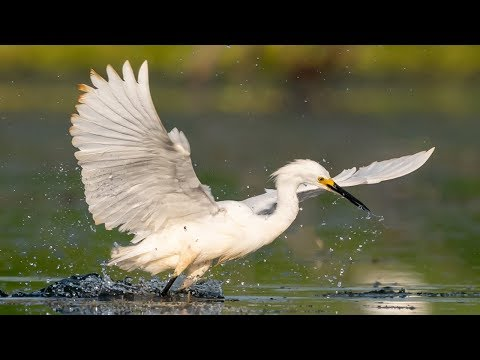 Awesome Bird Photography New Gear - Nikon D850 - Sony A9 - Snail Kites - Florida Wildlife