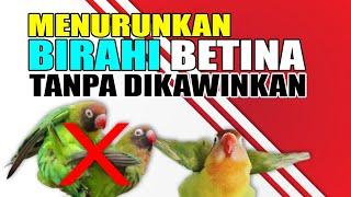 Download lagu CARA MENURUNKAN BIRAHI BETINA TANPA DIKAWINKAN