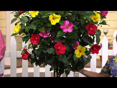 Cottage Farms 3-in-1 Braided Tropical Hibiscus Tree With Dan Hughes
