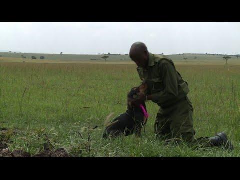 Braconnage: au Kenya, le chien est le meilleur ami des animaux