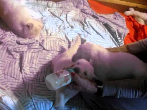Bottle Feeding Of Slovensky Cuvac Pups
