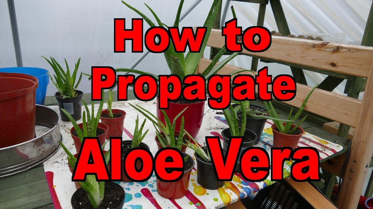 aloe vera plants how to propagate youtube. Black Bedroom Furniture Sets. Home Design Ideas