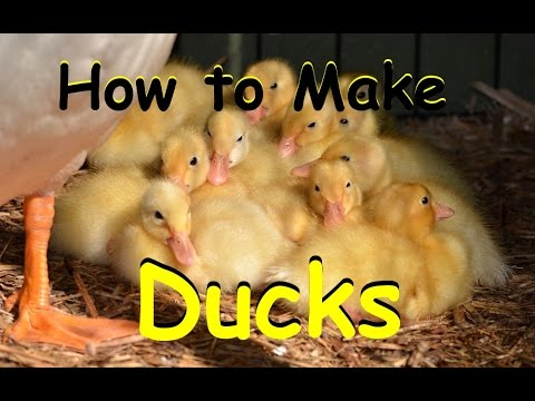 How to Help Make a Pekin Duck Nest Incubate & Brood
