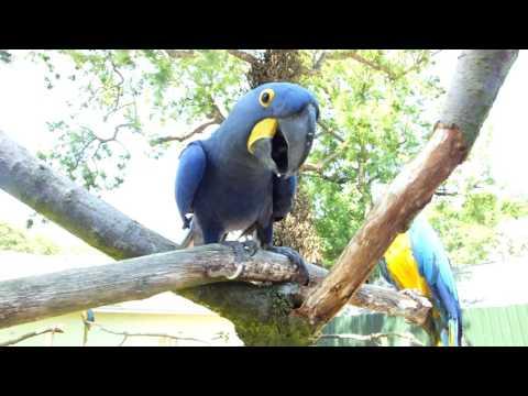 Big Blue Parrot