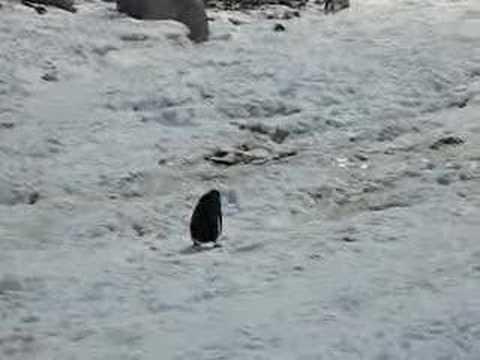 Penguin Slipping at Neko Harbour
