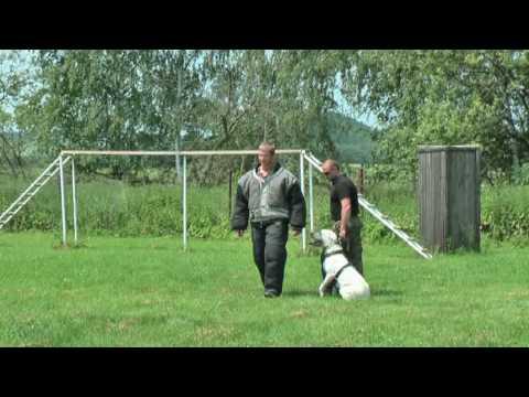 Dogo argentino  controlled aggressive, bite work