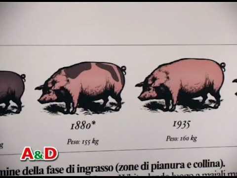 Musei del Cibo. Museo del Salame: E. Il maiale