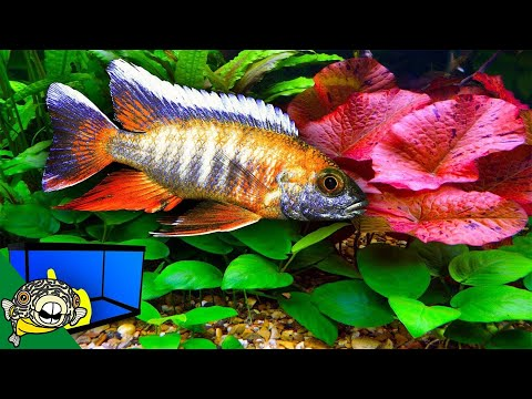 Planted African Cichlid Tank - How To