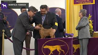 Norfolk Terriers | Breed Judging 2020