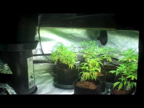 Vegetive Tips #1 - Grateful Garden Tips-medical cannabis tent grow