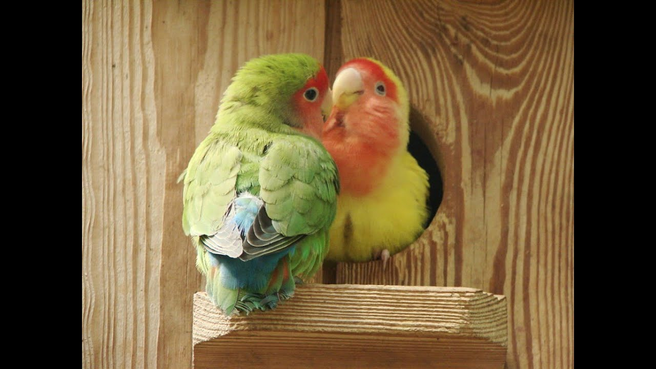 peach face lovebirds breeding tricks and tips youtube
