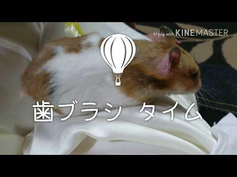 【ハムスター】歯ブラシで天国 「※最後閲覧注意」my hamster