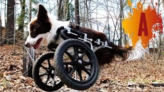 10 Cute Animals In Wheelchairs