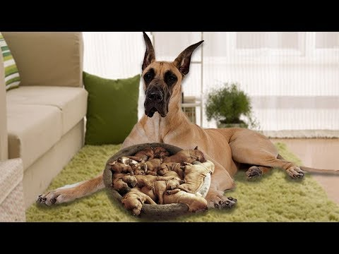 Brown Great Dane mom happy when having new puppies- Dog Giving Birth Video