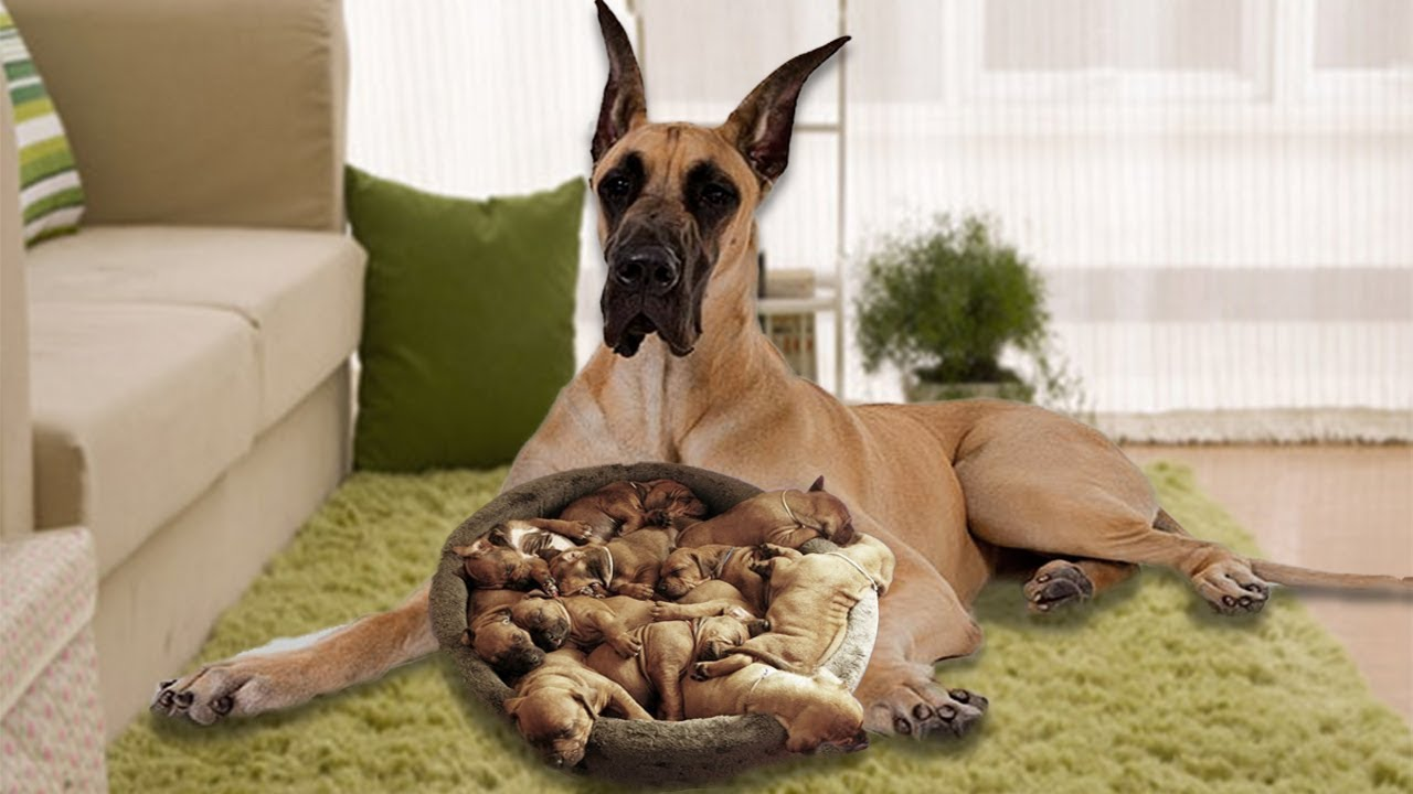 Brown Great Dane mom happy when having new puppies- Dog ...  Brown Great Dan...