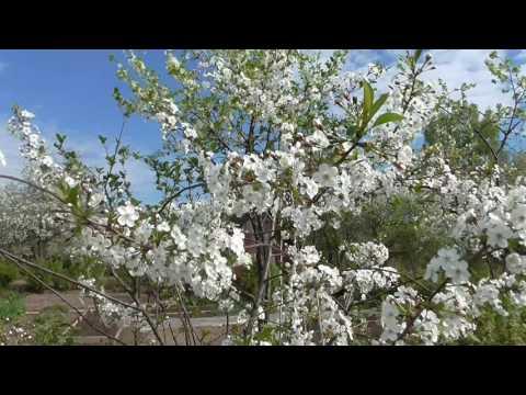 Цветет вишня, цветы вишни - фото - photo cherry-tree - Der