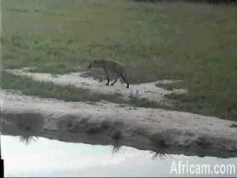 Hyena at Nkorho 120309 16:11