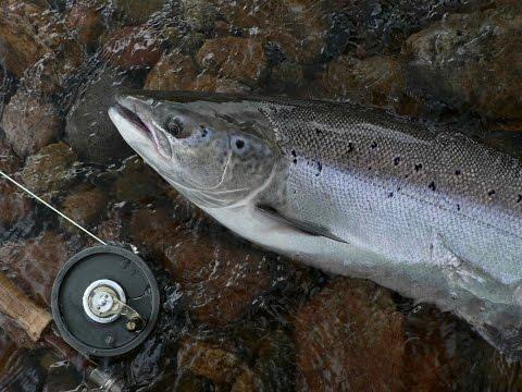 West Coast Newfoundland Salmon