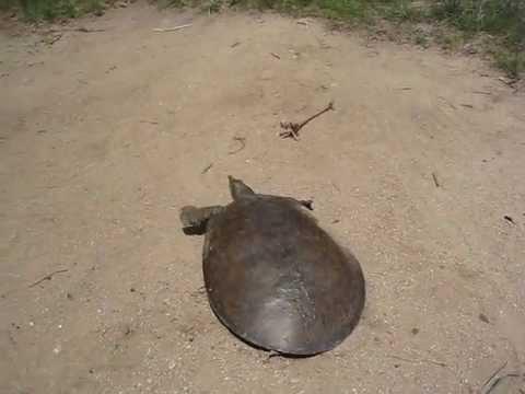 Super schnelle Schildkröte