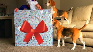 Best Christmas Present for Your Dogs : Funny Dogs Louie & Marie thumbnail