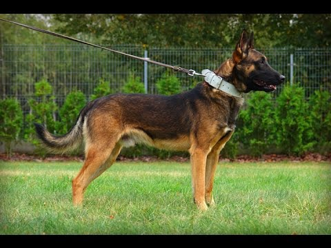 Nicols Belgian Malinois - Protection inside & outside