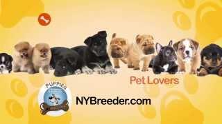 Puppies For Sale Bronx Ny - (914) 949-7877 Ny Breeder