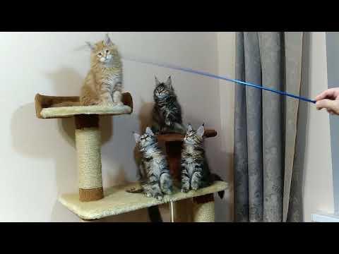 Авроракун питомник мейн кунов в абакане, купить мейн куна в абакане, сайт питомника кошек породы мейн кун.