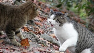 Cat Fight - HD 1080p
