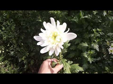 Уникальные сорта хризантем