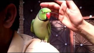Pakistani talking parrot