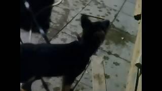 Немец. Не любит кошек