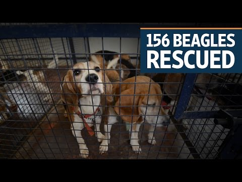 Beagles Rescued From An Animal Testing