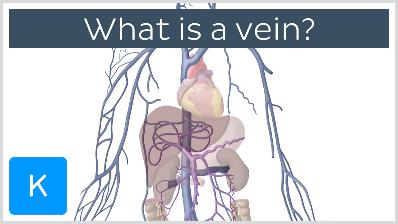 What is a vein? - Human Anatomy | Kenhub - YouTube