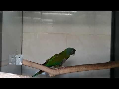 Blue headed Macaw ara couloni